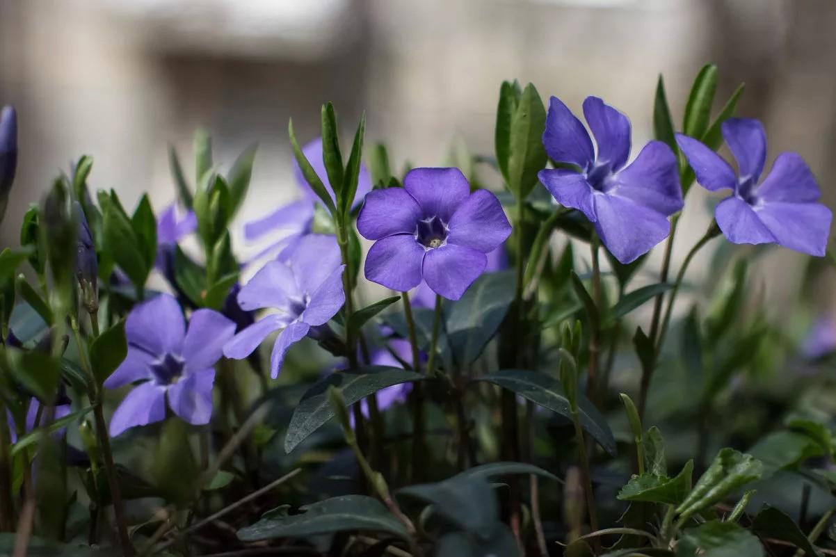 хочу желать, описание и фото цветка барвинок бывшей команды квн